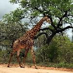 Giraffe exploring the territory