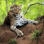 The elusive leopard - incredible to see a leopard up close