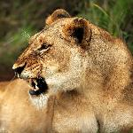 Lioness shows us who's boss