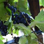 Grapes on the terrace