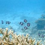 Snorkeling with Indian butterfly fishes