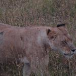 a lioness in the crater