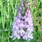 Marsh Orchid in our wildflower fields