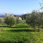 The Olive Groves of Villa Campestri