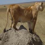 a solitary lioness at serengeti