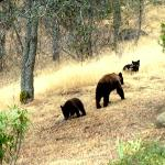 a family of bears crossing the property