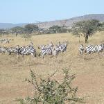 zebras at serengeti