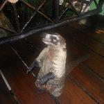 lovely little raccoon type ceature
