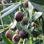 Olives in their orchard