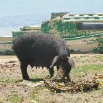 Pig at Faleloa