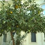 orange tree - just ripe for picking