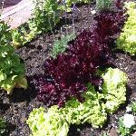 Lettuce and garden patch