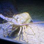 big prawn