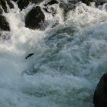 Salmon Jumping in the Rogue River