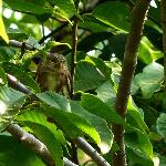 A Colima Pygmy Owl on Volcan Fuego