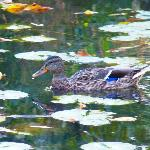 Duck Swimming in the Impressionistic Reflections, Alfred Caldwell Lily Pool