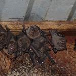 Bats living under our roof (they're fruit bats as we were told...)