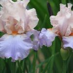 One of the irises in the iris bed