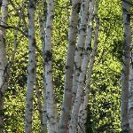 Our beautuful silver birches