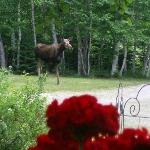 A moose taking a walk in the gardens !