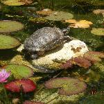 The resident turtle lazing on the rock in the pond out the front of reception
