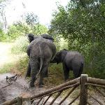 Elphants outside the Tent