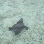 A manta ray in the lagoon