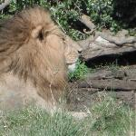 Marsh Pride Male Lion