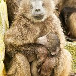Mother and baby baboon 2