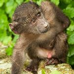Baby baboon on its own