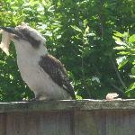 Charlie the Kookaburra enjoying breakfast with guests