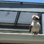 Charlie the Kookaburra visiting the Rozelle room