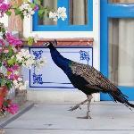 Peacock outside room