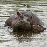 Hippo parental bonding at the hippo pool by Keekorok