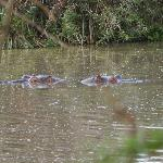 Hippos in Tsavo West