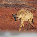 Hyena in Tsavo East