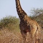 Giraffe in Tsavo East