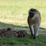 Vervet monkey hanging by one of the lodges