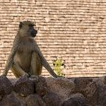 Yellow baboon on a wall in Ol Tukai
