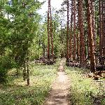 The Widforss Trail wandering through Ponderosa Pines