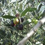 Olives ripening off terrace