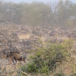 Wildebeest dust cloud
