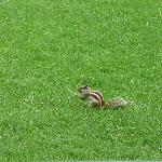 Streifenhörnchen im Gartenbereich