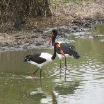 We spotted this pair of saddle beaked storks on several occasions.