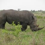 Rhino, one of MANY we saw on our game drives
