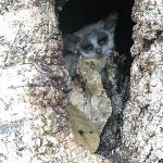 This littel bush baby lived very near the front door of the main building.
