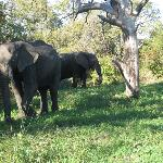 These are two of the elephants who liked the fresh water near the deck of the main lodge buildin