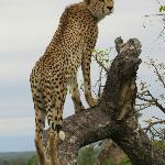 Cheetah model, he posed in various positions as though he were....