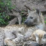 Hyena mom tending to the packs pups