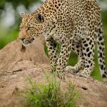 wonderful leopard sighting